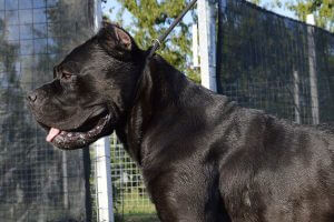 Cane Corso - fighting breed