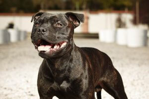 Staffordshire Bull Terrier - fighting breed